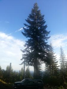 mountain noble pine