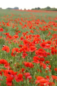poppies-1370972